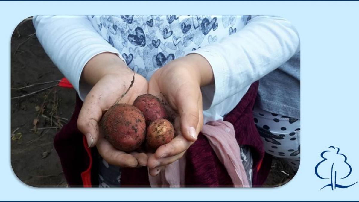 kartoffel-ernte_1
