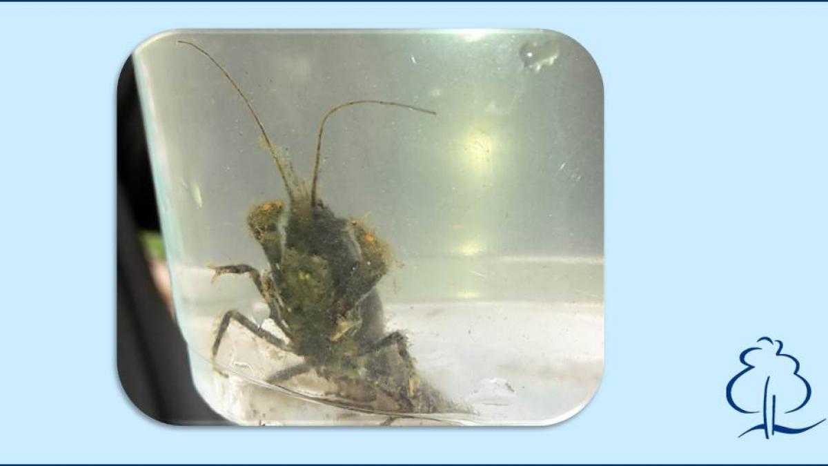 muehlenwasser-krebs_1