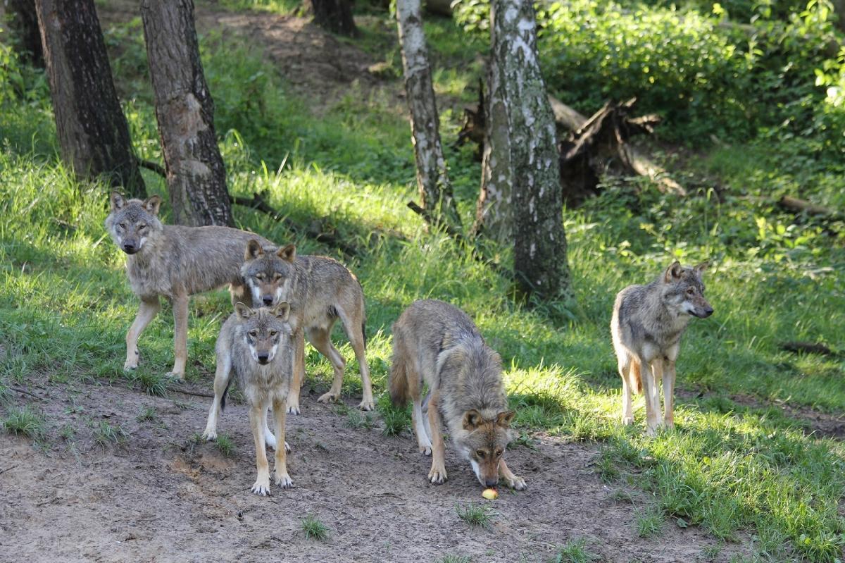 Wölfe im Wildpark-MV