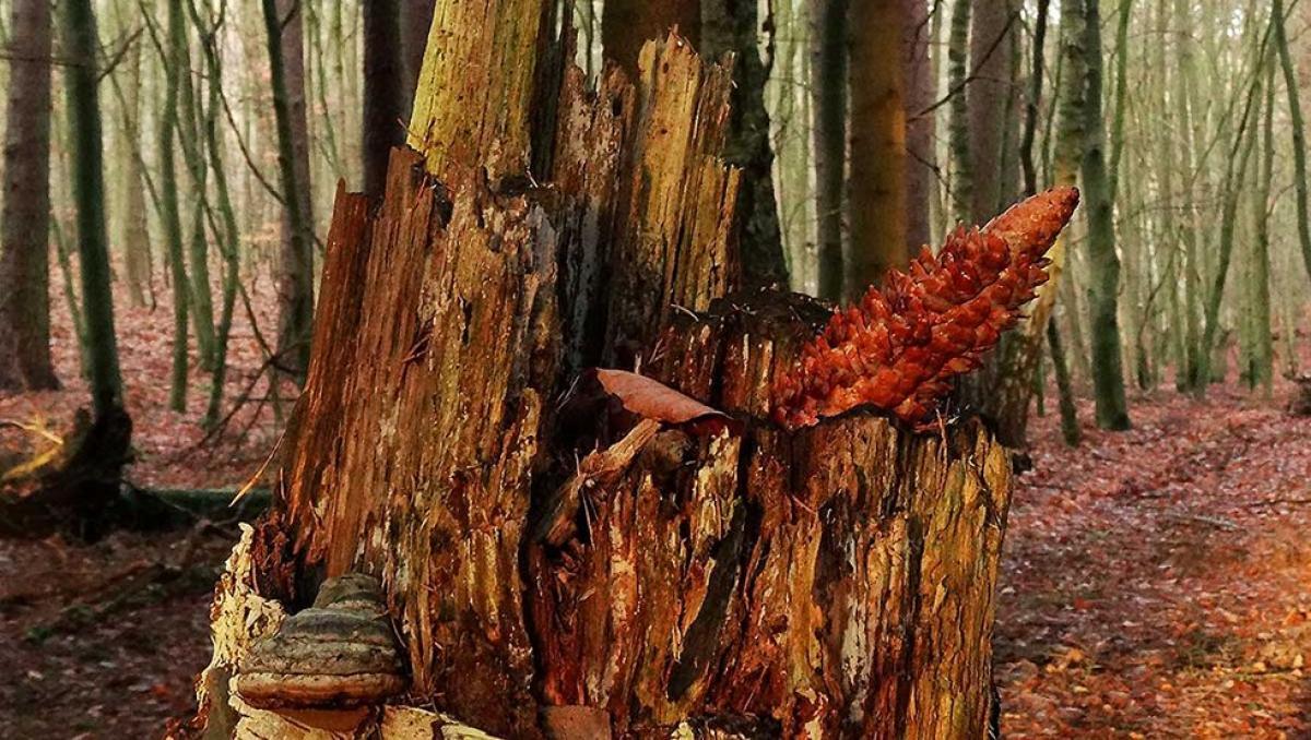 Durch den Winterwald, eine Spechtschmiede